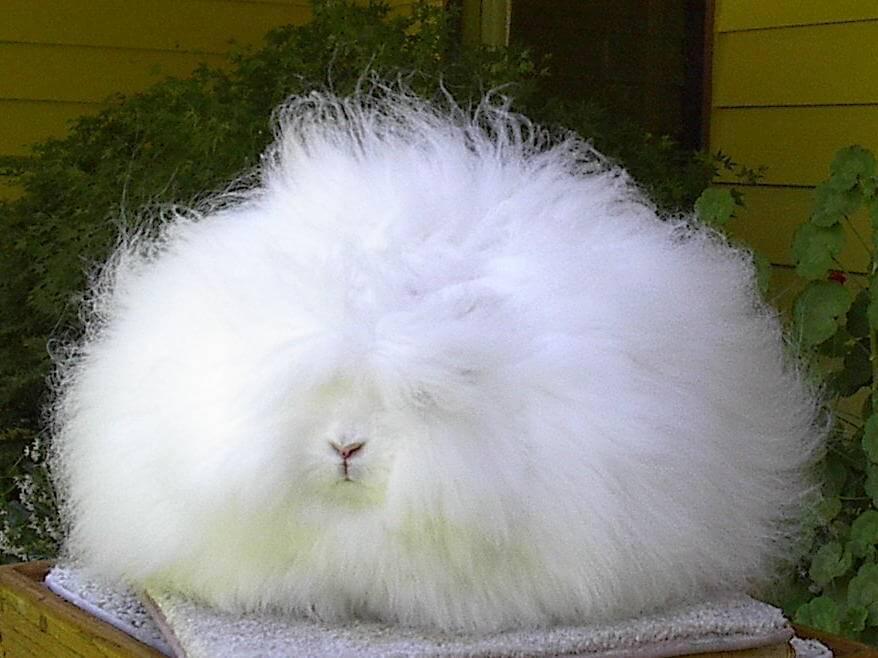 angora_rabbit