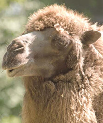 Camel_wool_portrait