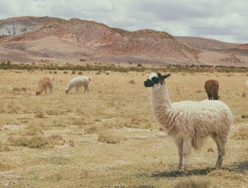 alpacas-south-america