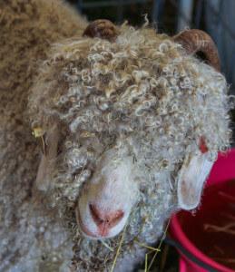 Mohair wool - Angora goat - WoolMe