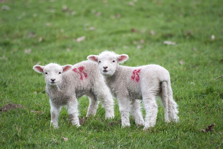 lambswool spring